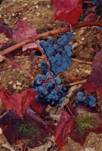 purple grapes from Portugal
