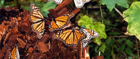 the monarch butterflies settle in the hills above Morelia for the winter