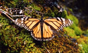 in the hills above Morelia - Monarch butterfly on moss