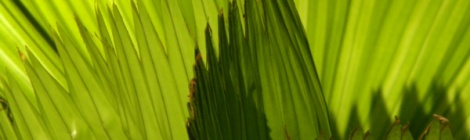 Costa Rican palm
