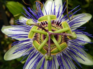 The Passion Flower,Passiflora mexicana, truly is the flower that symbolizes the death of Christ.