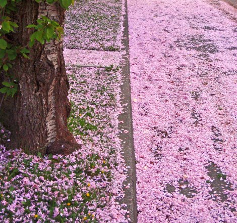 cherry blossom petals carpet the ground