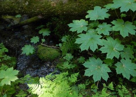 ferns and Devil's Club beside a stream