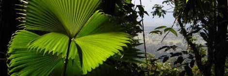 palm in jungle at Hanging Bridges, Costa Rica