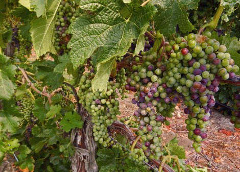 Naramata grape vine clusters
