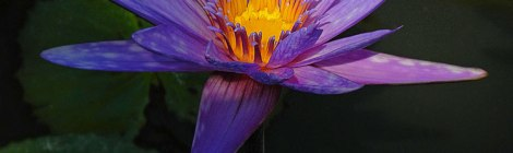 Mexican Purple Water Lily