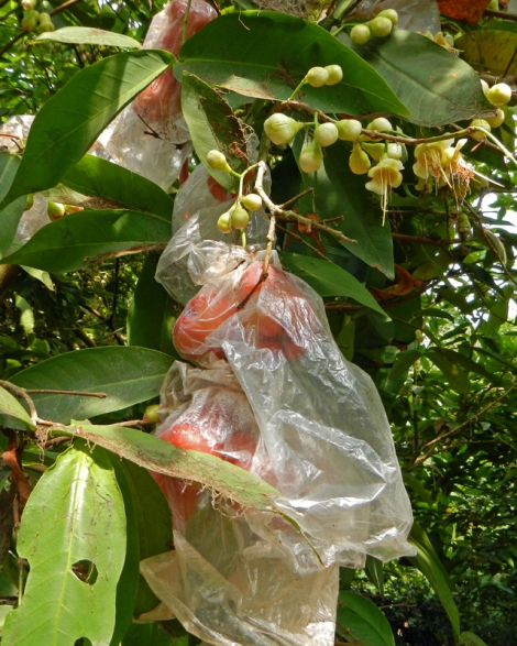 Rose apple tree growing in the Mekong Delta