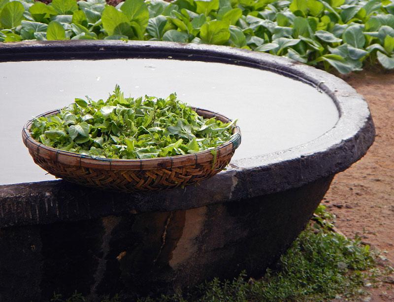 Visiting an Organic Herb Garden in Hoi An, Vietnam