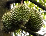 Durians Growing on a Tree in the Mekong Delta of Vietnam