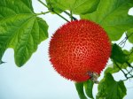 Gac, a spiky red fruit growing on a vine in the Mekong River Delta of Vietnam