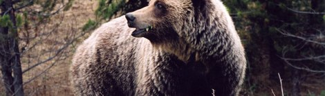 grizzly bear at Wells, BC