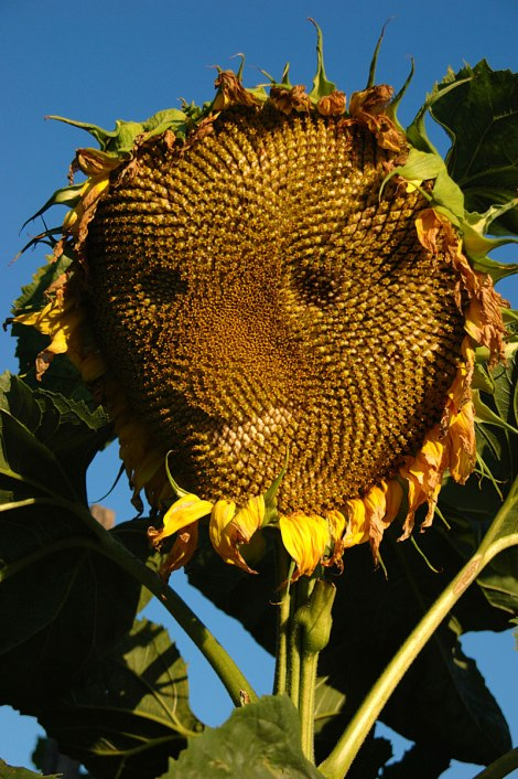 Sunflower Happy Face