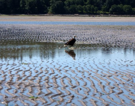 Cue the Bald Eagle at Spanish Banks