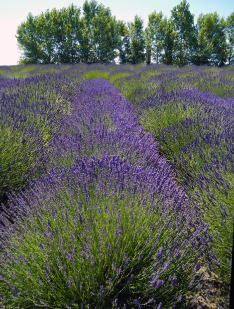 Fields of Lavender in Sequim, USA