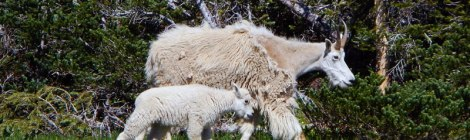 White Mountain Goats on Hurricane Ridge in Olympic National Park