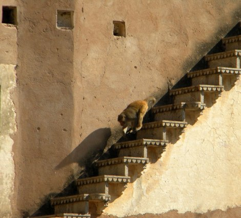 Monkey Racing Down the Stairs at Bundi Fort