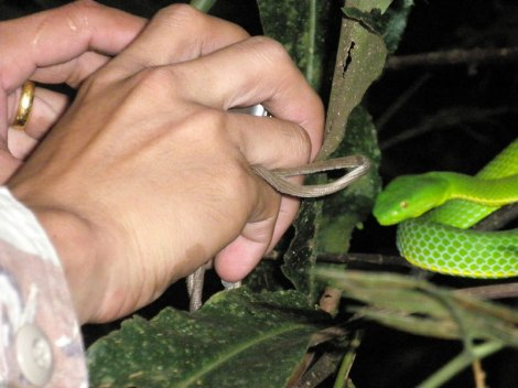 green pit viper in Kao Yai National Park, Thailand