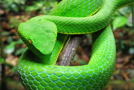 green pit viper in Kao Yai National Park in northeast Thailand
