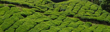 Tea Plantation in the Cameron Highlands of Malaysia