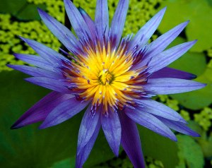 Waterlily, aka Blue Lotus