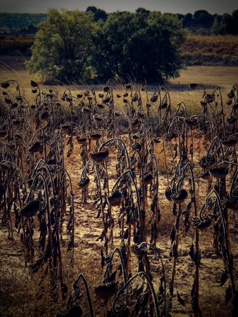 dead sunflowers in a field in Spain