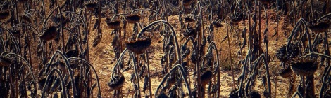 dead sunflowers in a field in Spain