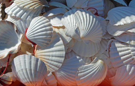 White Scallop shells, the sign for El Camino, the pilgrimage route to Santiago de Compostela in Spain