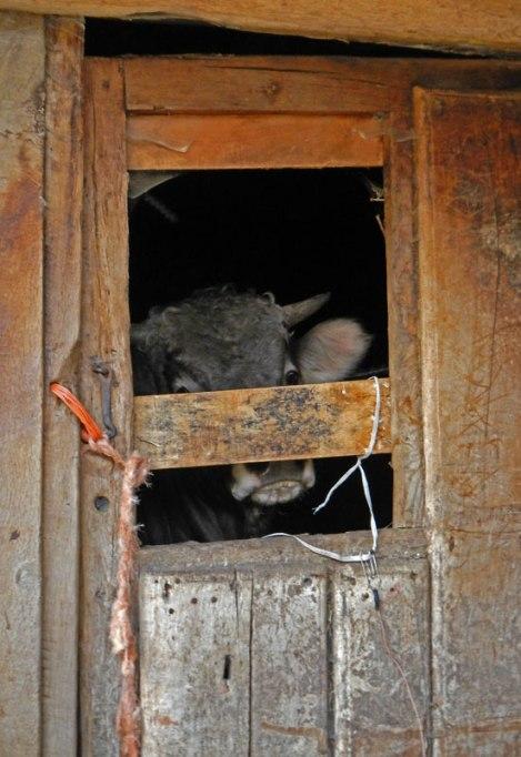 Cow in Barn in Picos de Europa