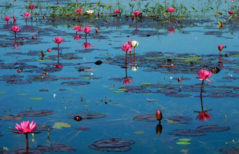 Inle Pottery Village Waterlilies