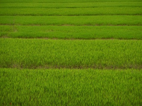 Hue: Green Rice Field
