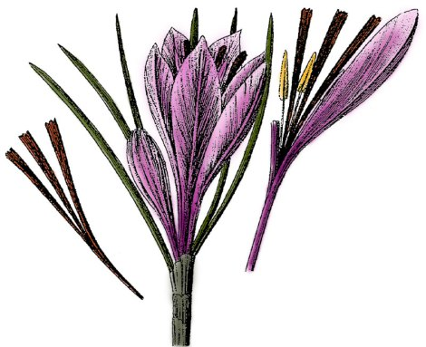 Botanical Illustration of the saffron crocus