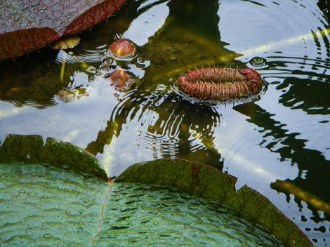 Singapore Botanical Garden: Pool with Huge Floating Waterlily Leaves.