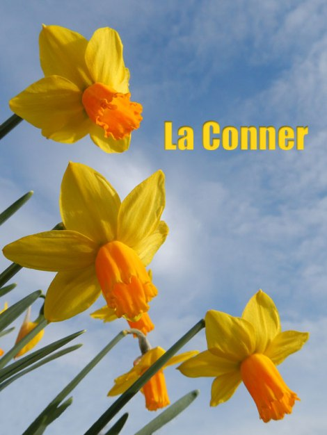 Spring Daffodils in La Conner
