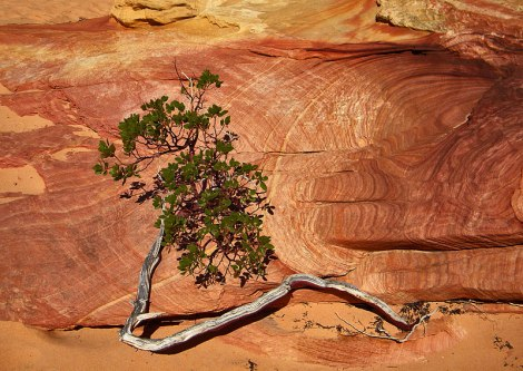 Bush Struggling to Grow in the Desert Rock
