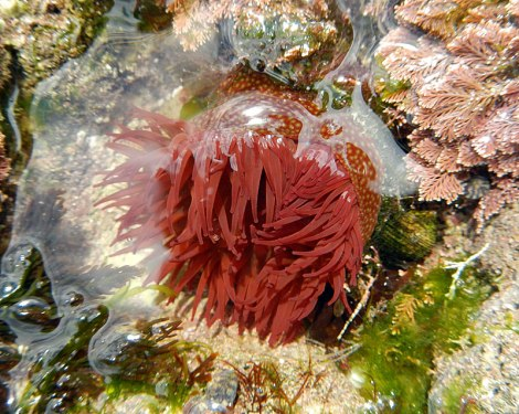 A red sea anemone in an Etretat tidepool