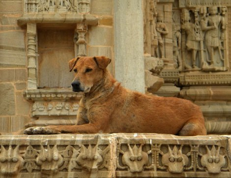A dog guarding a temple in Chittor. (India)