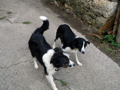 Two friendly dogs up in the villages of Picos de Europa