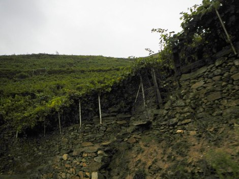 Grapes growing on the steep terraces of the Ribeira Sacra of northern Spain