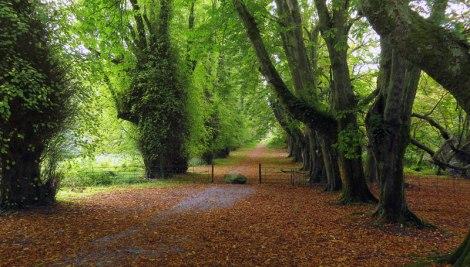 Tree-lined path at Killarney National Park