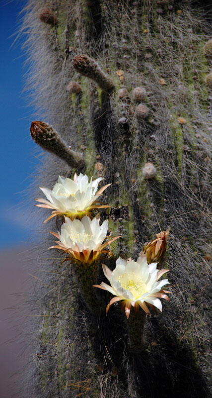 a cardón cactus in bloom, found only in the high Puna region of Argentina