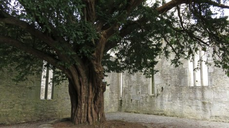 A sacred ash grows in the middle of Muckross Abbey in Killarney National Park in Ireland