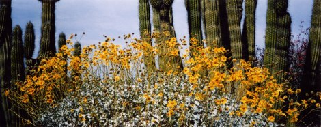 Saguro cactus with yellow daisies