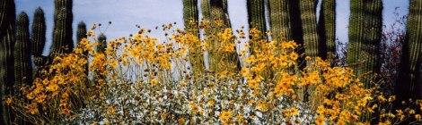 Saguro cactus with yellow daisies
