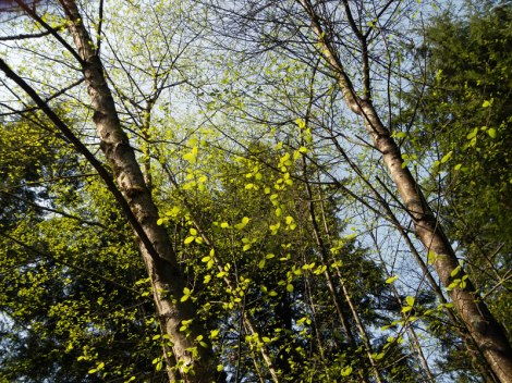 Spring Green Leaves at Pacific Spirit Park