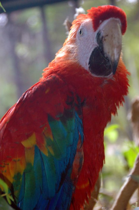 A red (and loud) macaw up in Iguazu Falls