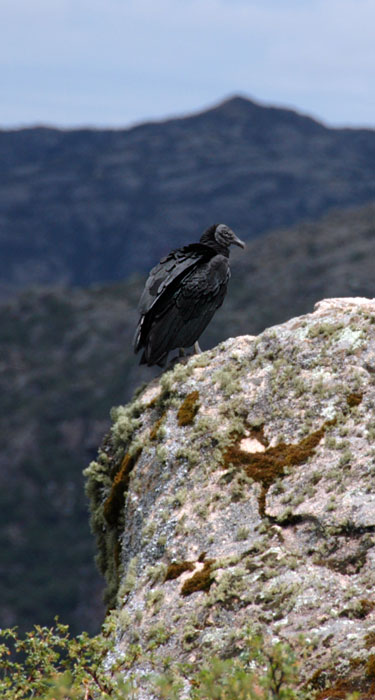 A vulture posing at the canyon of condors in Argentina