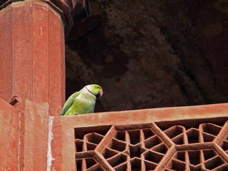 Green Indian Parrot at the Taj Mahal