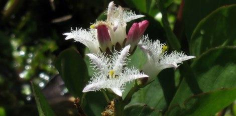 White bog flowers in the Washington State University Discovery Gardens near Mt. Vernon, Washington