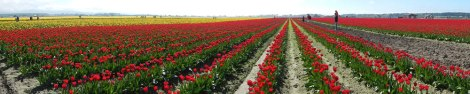 Panorama of tulip fields just outside of La Conner, Washington