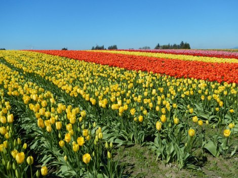 Tulip Town's fields of tulips just outside of La Conner, Washington